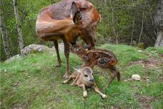 Fauna dels Pirineus