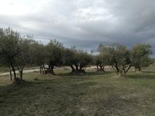 Les nostres oliveres centenàries.
