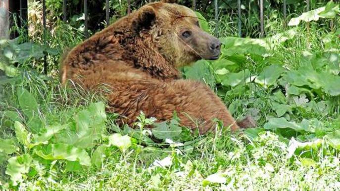 Reformaran el zoo dels óssos d'Arties per adaptar-lo a les lleis