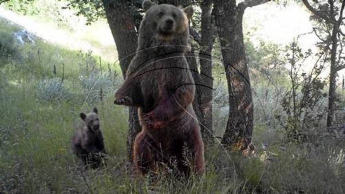 Agricultura confirma cinc nous cadells d'ós enguany