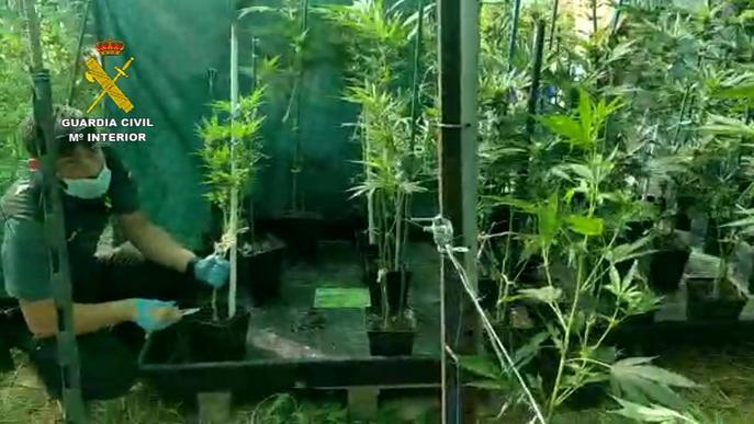 La Guàrdia Civil de Lleida aprehèn 215 plantes de marihuana