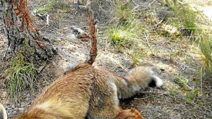 Descobreixen 60 trampes il·legals en una àrea de caça de Granyena