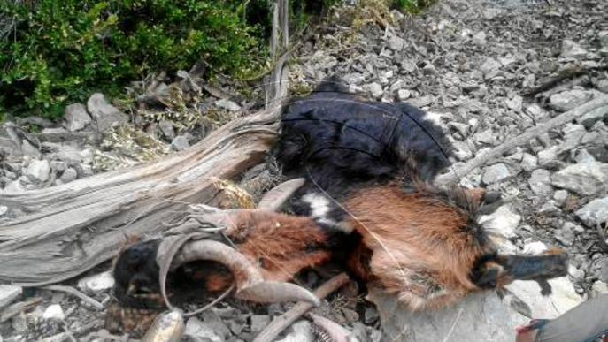 Denuncia la mort de deu cabres del seu ramat i ho atribueix a trets de caçadors