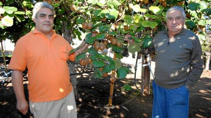 El kiwi com a alternativa a les produccions tradicionals de fruita