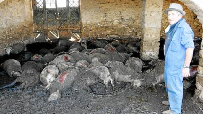 Gossos salvatges que ronden pel Baix Segre maten cent ovelles d'un ramat a Seròs