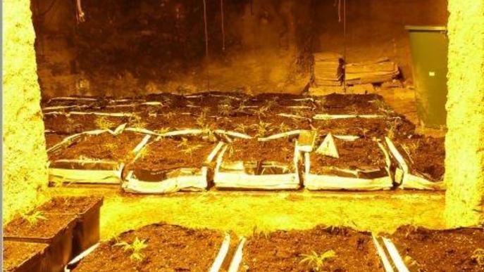 Els Mossos desmantellen una plantació de marihuana al Pallars Jussà