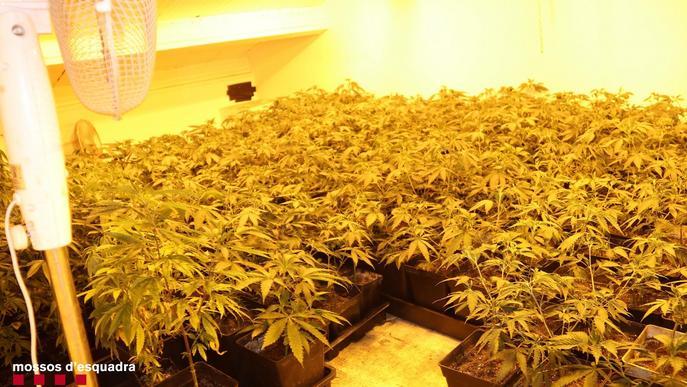 Detinguts dos veïns del Pla d'Urgell per cultivar gairebé 2.000 plantes de marihuana