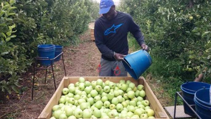 Unió de Pagesos demana a Agricultura una reunió davant la disminució de producció de poma i pera pels fongs