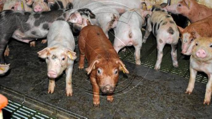El sector porcí ha apostat per créixer i la cabanya lleidatana ha pujat un 19% en un any