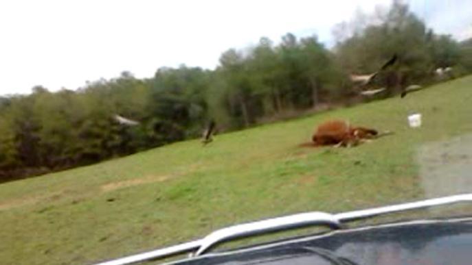 Unió de Pagesos exigeix reduir la població de voltors al provar que ataquen bestiar viu