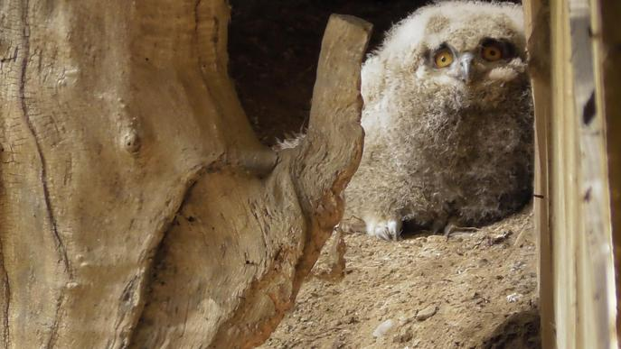 Neixen tres cries de duc al centre de fauna de MónNatura Pirineus