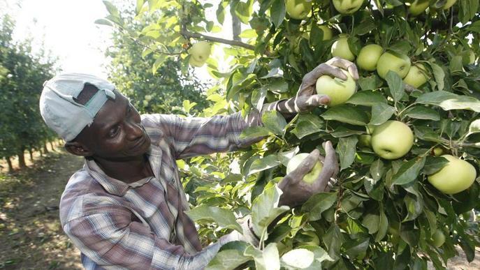 Lleida té un vint per cent menys de poma per vendre