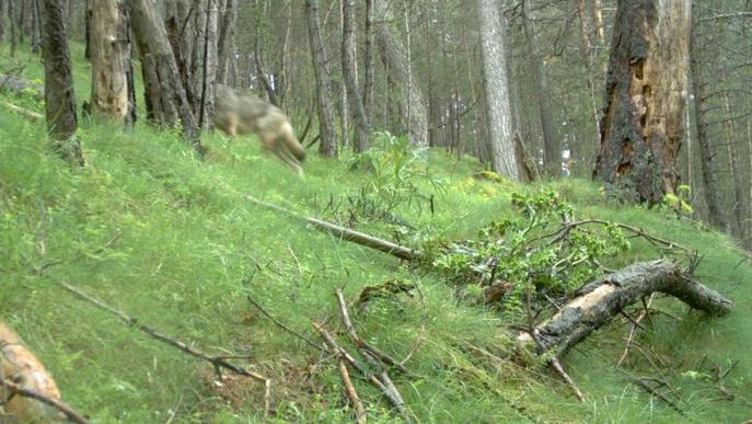 El llop es deixa veure al Port del Comte i constaten atacs a bestiar