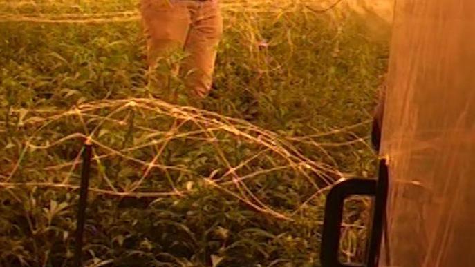 Macrooperació policial contra el cultiu de marihuana 'indoor' que utilitzava naus a Coll de Nargó