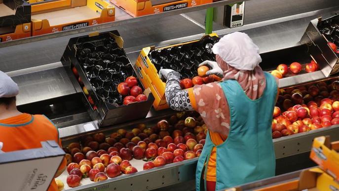 Fruits de Ponent assolirà els 500 treballadors aquesta campanya