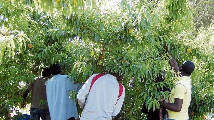 Batuda de la Inspecció de Treball en finques de fruita del Baix Segre