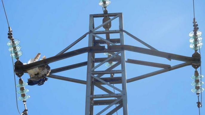 La Noguera, punt negre amb més de 100 aus electrocutades