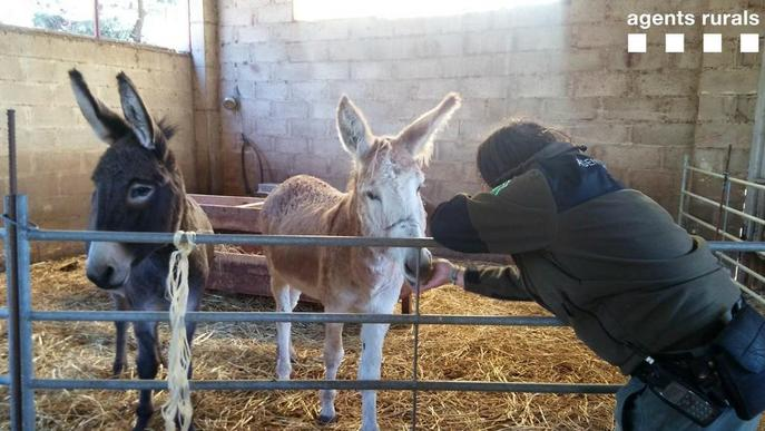 Troben dos burros abandonats a Tremp
