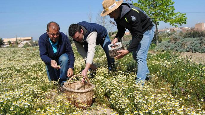 Premi internacional per a L'Elixir, el nou licor de camamilla de Linyola