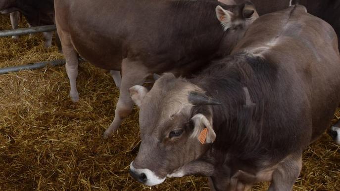 Agricultura subhasta els seus 22 primers sementals de raça bruna del Pirineu