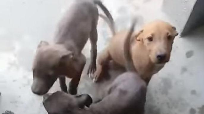 Soses es fa càrrec d'una llorigada de gossos abandonats