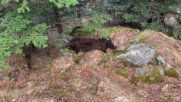 Troben mort l'ós Cachou en un paratge de difícil accés a Les