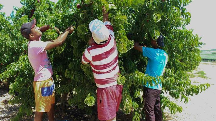 UP ja compta amb 14.000 sol·licitants a la seua borsa de treball per a la fruita