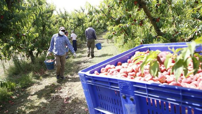 Denuncien maniobres per enfonsar els preus de la fruita en origen