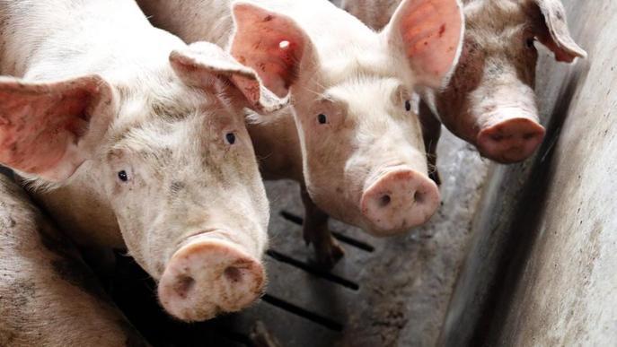 El sector porcí confia en la Xina per tancar un bon exercici el 2020