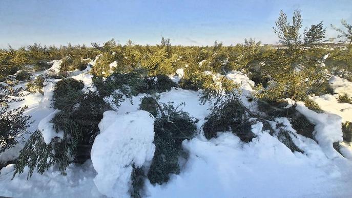 Garrigues alerta de danys greus pel fred en oliveres