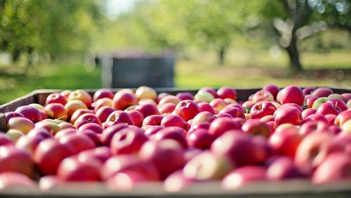 Afrucat preveu que les existències de poma a les cambres catalanes no arribaran fins a l'estiu
