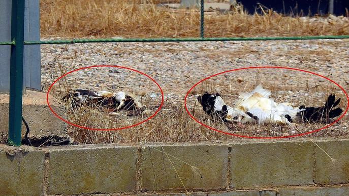 Ipcena denuncia Endesa per la mort de dues cigonyes electrocutades a Lleida