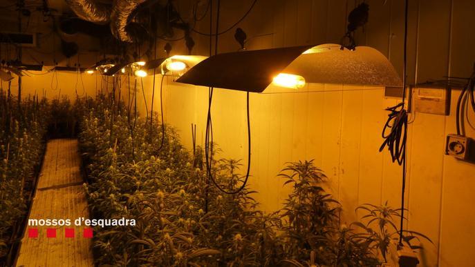 Detingut un home per cultivar 1.001 plantes de marihuana a l'interior d'una nau industrial