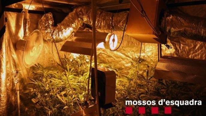 Detingut a Lleida un home que tenia una plantació de marihuana dins del seu domicili