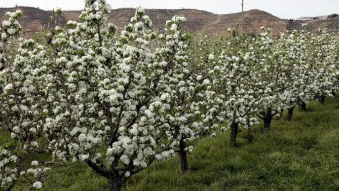 Aitona tanca la campanya de floració amb gairebé 20.000 visitants tot i la suspensió pel coronavirus