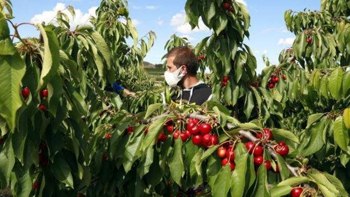 ⏯️ Pocs joves i aturats accepten la crida dels pagesos per treballar a la fruita
