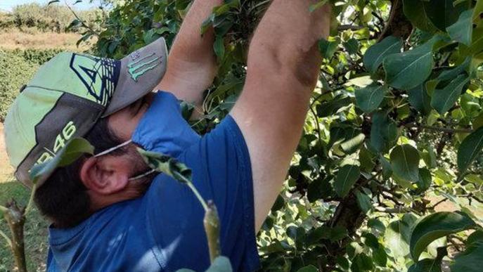 Un treballador collint peres Blanquilla en una explotació d'Alpicat