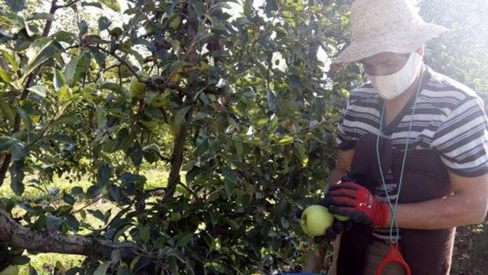Pla mitjà on es pot veure un temporer collint pomes amb mascareta en una finca de Penelles