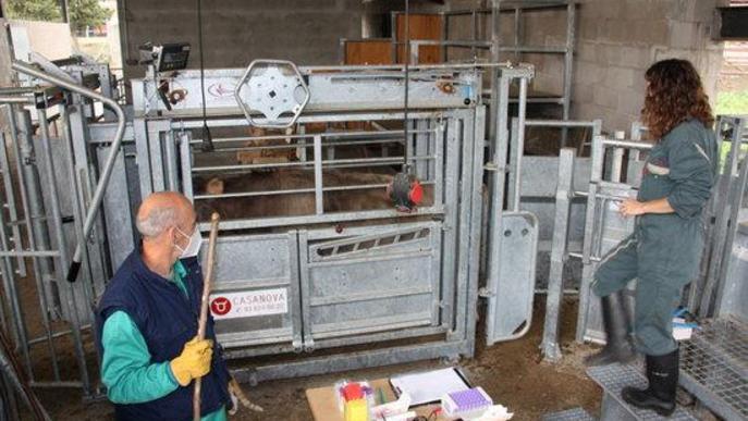 dijous, 12 novembre 2020 06:00 Albert Lijarcio Pla general on es veu un vedell a punt de sotmetre's a diverses proves dins les instal·lacions del centre de testatge de Bellestar de l'Escola Agrària del Pirineu, a Montferrer i Castellbò (Alt Urgell)