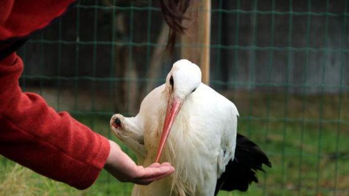 Pla general d'una cigonya malferida i cega al centre de recuperació de fauna de Santa Maria de Merlès mentre li donen menjar