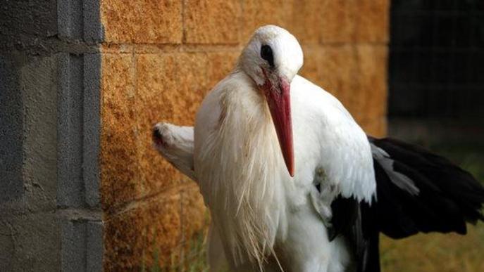 Pla general d'una cigonya malferida i cega al centre de recuperació de fauna de Santa Maria de Merlès