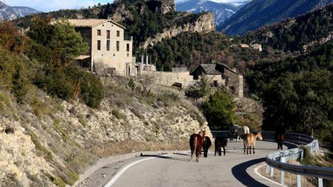 Pla general on es veuen els cavalls de la Fundació Miranda fent la transhumància per una carretera de Coll de Nargó (Alt Urgell)