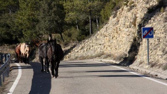 Pla obert d'alguns dels cavalls de la Fundació Miranda fent la transhumància per una carretera de Coll de Nargó (Alt Urgell)