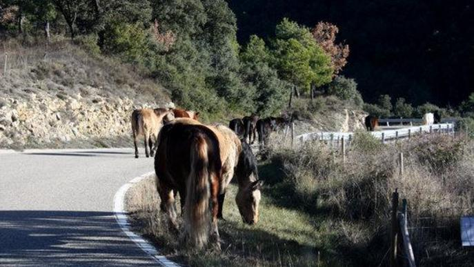 Pla obert on es veuen els cavalls de la Fundació Miranda fent la transhumància per una carretera de Coll de Nargó (Alt Urgell) i altres alimentant-se amb herba dels vorals de la via