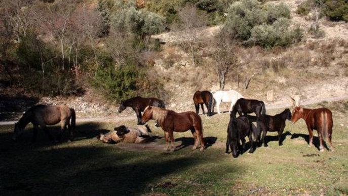 Pla general dels cavalls de la Fundació Miranda en una zona de pastura de Coll de Nargó (Alt Urgell)
