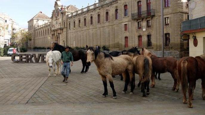 Pla obert d'un voluntari i diversos cavalls de la Fundació Miranda fent la transhumància per la plaça de la Universitat de Cervera