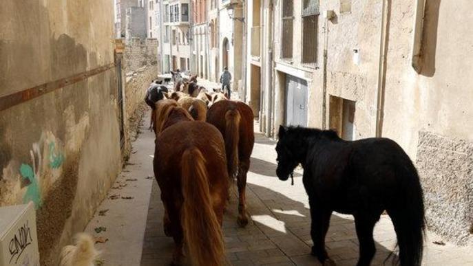 Pla obert on es veuen alguns dels cavalls de la Fundació Miranda fent la transhumància pels carrers de Cervera