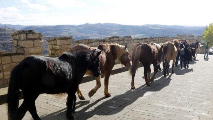 Pla general d'alguns dels cavalls de la Fundació Miranda fent la transhumància al costat de la muralla de Cervera
