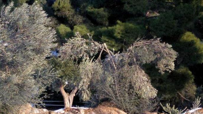 Oliveres del Segrià del Secà, afectades pel temporal Filomena
