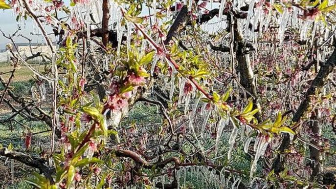 ⏯️ La fruita dolça de Ponent tem una caiguda de la producció per la gelada